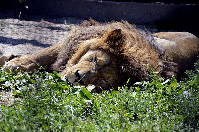 Wielki kot w powiecie wałbrzyskim